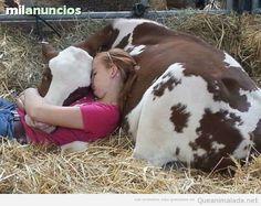 MIL ANUNCIOS.COM - Vacas en La Coruña. Venta de vacas de segunda mano en La Coruña. vacas de ocasión a los mejores precios.