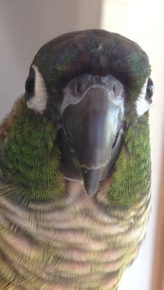 green cheeked conure just like my birdie!!!!!