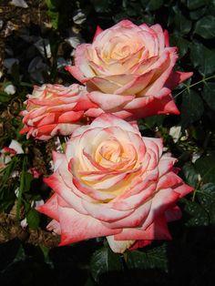 'Imperatrice Farah® delivour' | Hybrid Tea Rose. Delbard 1992