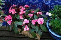 A nebáncsvirág (Impatiens sp. Garden, Plants, Terrace, Balcony, Garten, Patio, Lawn And Garden, Gardens, Plant