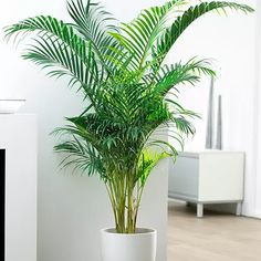 The Areca displays similar fronds as the Kentia and can reach heights of 20 ft tall, which makes it a great focal point for any large room. This species is the most popular of it's kind and sold widely throughout different garden centers. Zone 10 is considered best for optimal health, but also do extremely well in warmer areas of zone 9b that border 10a. When caring for you Areca palm, leaving the fronds to brown and fall off on their own is better for the health of the tree.