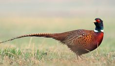 Pheasants are characterised by strong sexual dimorphism, males being highly decorated with bright colors and adornments such as wattles and long tails. Males are usually larger than females and have longer tails. Males play a part in rearing the young. Pheasants typically eat seeds and some insects.
