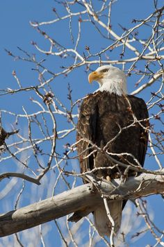 Pictures Of Bald Eagles, Our National Bird, Ohio Birds, Types Of Snake, Eagle Images, Giant Cat, Visit Utah, American Animals, Deer Family