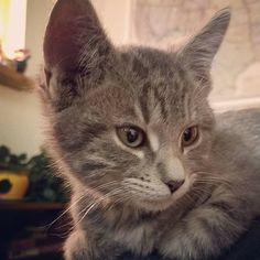 Amateur photography. Gray tabby kitten