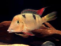 Image for private wallpaper use for Geophagus crassilabris Steindachner, 1876 Tropical Freshwater Fish, Freshwater Aquarium Fish, Tropical Fish, Pet Supermarket, South American Cichlids, Oscar Fish, Ocean Aquarium, Pet Fish, African Cichlids