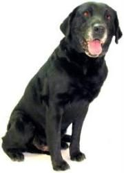 Happy is an adoptable Labrador Retriever Dog in Inverness, FL.  ...