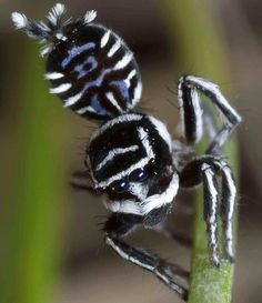 A new species of peacock spiders, called Skeletorus (Maratus sceletus), were discovered in southeast Australia, March 2015.