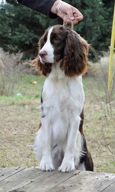 Cute Cats And Dogs, Cute Dogs And Puppies, I Love Dogs, Doggies, Cute Dogs Breeds, Best Dog Breeds, Best Dogs, Springer Spaniel Puppies, English Springer Spaniel