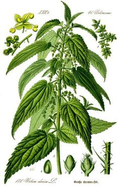 Herbal Medicine Nettle Root May Help Multiply the Effectiveness of Your Androgens: - Stinging Nettle Root extract can help to naturally prevent male hormones converting to estrogen. Buy high-quality Nettle Root powder online here. Healing Herbs, Medicinal Plants, Botanical Drawings, Botanical Prints, Illustration Botanique, Wild Edibles, Kraut, Herbal Medicine, Medicine Bag
