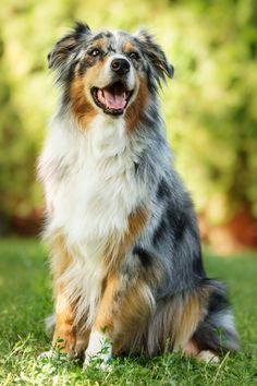 my dog ☀Australian Shepherd ~ pure happiness by msnessix.deviantart.com