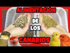 Food for canaries 🐤 Canarian food for the breeding of canaries Canary Birds, Bird Aviary, Serin, Youtube, Animals, Food, Goldfinch, Exotic Birds, Little Birds
