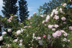 Rose garden in Spring 2015