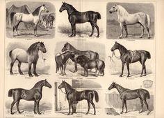 arabian horse vintage prints | 1895 Antique Horses Print, Horse Breeds, Types of Horses, Arabian ...