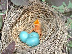 Robin nestling just hatched. Kansas, USA (by Knox Rhine)