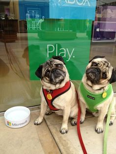Pugs ahoy! Minnie and Max stopped by the Microsoft Store.