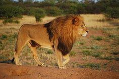 Lion, Pride, Petoeläin, Harja, Kissa