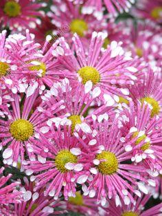 chrysanthemum List Of Flowers, All Flowers, Types Of Flowers, Beautiful Flowers, Zinnias, Chrysanthemums, Chrysanthemum Flower, Outdoor Plants, Dream Garden