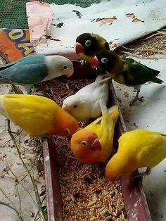 Love Birds Pet, Cute Birds, Pretty Birds, Love Pet, Beautiful Birds, Parrot Pet, Parrot Bird, Vision Bird Cage, Cute Baby Animals