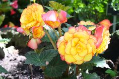 Yellow and pink tuberous begonias look like giant roses