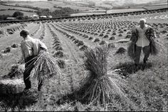 James Ravilious (22 August 1939 – 29 September 1999): Men setting up stooks, Chulmleigh, August 1989