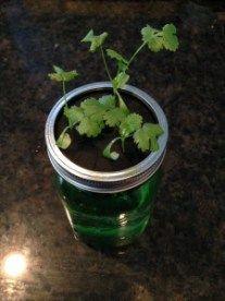 Cilantro in mason jar hydroponics