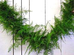 AVA asparagus fern