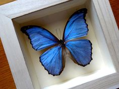 Morpho Godarti Male From PERU Framed  Taxidermy by ButterflyPalace