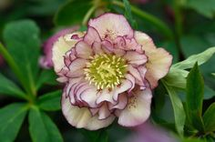 I love this hellebore!