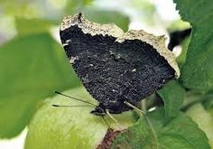 Kuvahaun tulos haulle suruvaippa perhonen