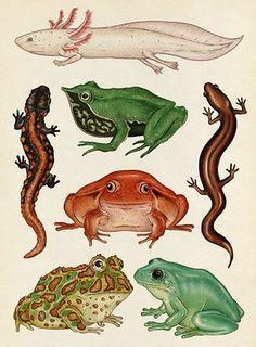 Animalium - Amphibians