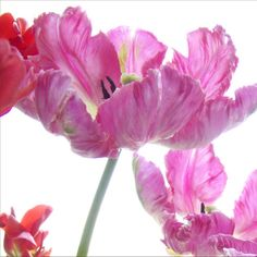 Pink Tulips Photograph  Parrot Tulips Floral Art by JudyStalus