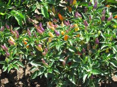 nice Purple ornamental peppers - Herb Garden - Huntington Gardens - August 2011 / http://www.everydaygardening.net/purple-ornamental-peppers-herb-garden-huntington-gardens-august-2011/