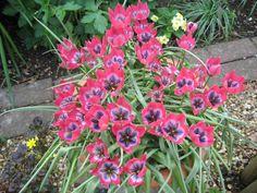 Tulipa `Little Beauty`