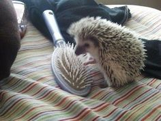 hedgie love story :)
