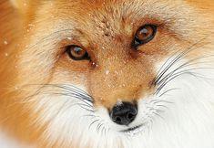 fox red - Cerca amb Google