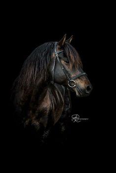 HorseID: 2024464 Storybook Kurt William-Elite #13218 - PhotoID: 862295