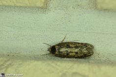Un microlépidoptère indésirable qui fréquente nos habitations....