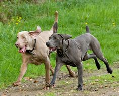 "Blue Weimaraner | Typical grey Weimaraner (left) and ""blue"" Weimaraner (right), both ..."