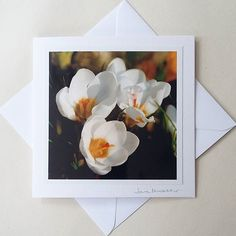 and for - is this new one of white crocus from my garden - winter seems a long time ago now doesn't it!