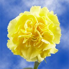 The most gleaming, freshest, and elegant Yellow Carnations.