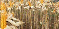 Kemtan optimis ada pasokan produksi jagung sekitar 24 juta ton tahun ini  PT Rifan Financindo Berjangka       Kementerian Pertanian (Kemta...