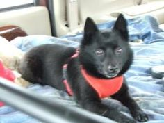 Colorado Springs, Co  Zoey a beautiful female Schipperke, approximately 4 years old. You may not know but I was found running in traffic and thankfully rescued. Lucky me-I am now very safe and loved in my foster home. My foster-mom is very impressed with my good manners and admires my happy personality. I am a little shy at first but I quickly warm-up to new people and new situations. In my foster home I get along great with the other dogs and I am even friends with the on-site bad kitty'. I…