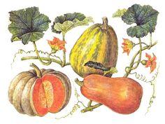 Крупноплодная тыква (Cucurbita maxima), Мускатная тыква (Cucurbita moschata) и Твердокорая тыква (Cucurbita реро)