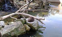 Śpiąca wydra. #wydra, #Lutrinae