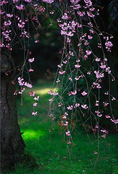 .weeping cherry tree.