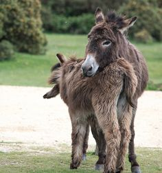 New Forest donkey cuddle | von dgoodsell