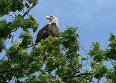 Decorah - U.S.A. Honorable Bird, the EAGLE  - many of them