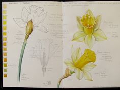 Sketch Book Botanical Sketches and Other Stories: Daffodil Days Botanical Drawings, Botanical Illustration, Botanical Prints, Illustration Art, Daffodil Day, Daffodil Flowers, Illustration Botanique, Nature Sketch, Nature Journal