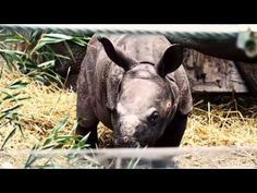 2016 Toronto Zoo. Baby Rhino First Public Appearance. Video by newcacom on Youtube animals #BabyRhino #Rhinoceros #Rhino #TorontoZoo #Toronto