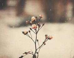 ༺ My Melancholic Diary ༻ novel by Iva Kenaz - moods #roses #snow #romantic